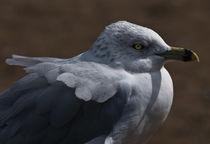 Sea Gull by Robert  Perks