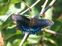 Black Butterfly4 by Martha Abell
