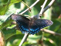Butterfly-black9