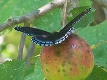 Butterfly-black11
