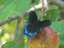 Butterfly-black12