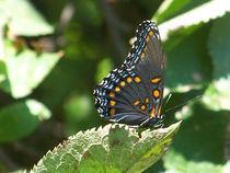 Butterfly-black21