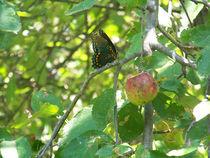 Butterfly-black23