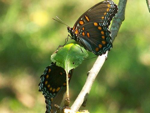Butterfly-black24
