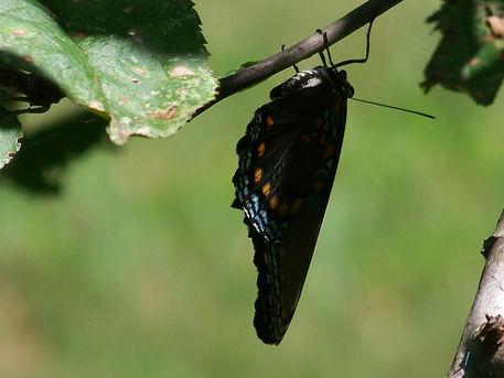 Butterfly-black25