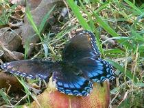 Butterfly-black30