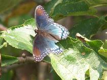 Butterfly-black31