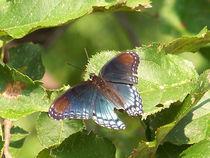 Butterfly-black32