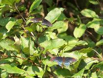 Butterfly-black33