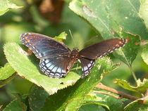 Butterfly-black34
