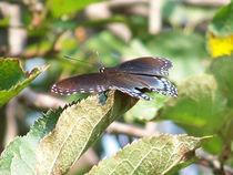 Butterfly-black35