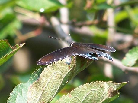 Butterfly-black36