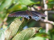 Butterfly-black37