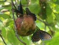Butterfly-black39