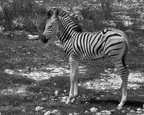 Baby Stripes (Damaraland Zebra) von Howard Cheek