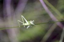 Grasshopper on a spring von Jerome Moreaux