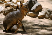 Patagonian Mara - mum and baby by yunaayame and goncalopp