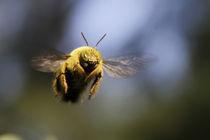 Bumble Bee in Filght von Steven Le Roux