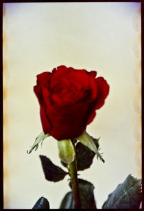Red Rose by Pia Sundnes