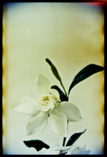 Broken White Flower von Pia Sundnes