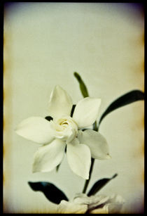 White Flower von Pia Sundnes