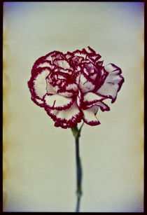 Red & White Carnation by Pia Sundnes