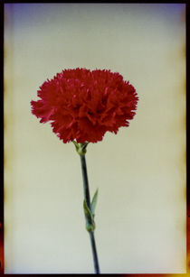 Red Carnation by Pia Sundnes
