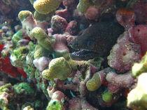 Stout Moray Eel by Alexander Daniels
