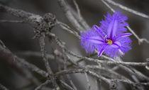 Fringe Lily by Sandra Lucas