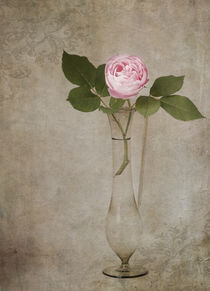 Nostalgie-Rose von Franziska Rullert