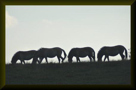 Schatten-pferde-1