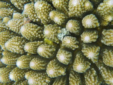 Vanuatu-coral