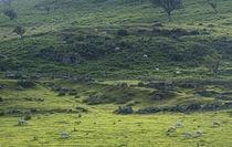 Sheep, Snowdonia, Wales von Martin Sully