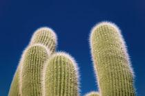 Cactus von alejo schatzky