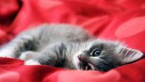 kitten in red by Ramon Andrei Grosu