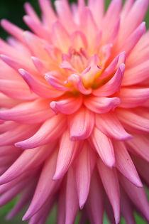 Pink Profusion von Helen K. Passey