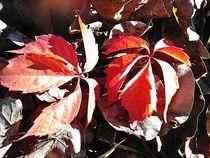Herbstlaub, Weinlaub, Herbst von Simone Cuambe