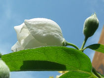 Jasmin by flowers-and-sun