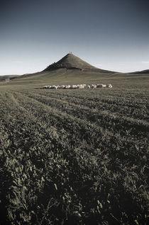 Hill with sheeps von Antonio Saba