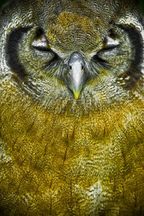Scops owl by Stefan Antoni - StefAntoni.nl