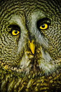 Great grey owl by Stefan Antoni - StefAntoni.nl