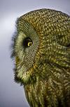 Owls-05