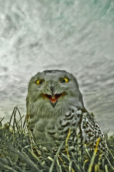 Owls-07