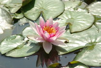Rose water lilly von Laurence Collard