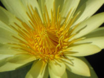 Yellow Water Lily by Jeffrey Batt