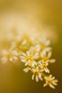 Sanfte weisse Blume von Christine Amstutz