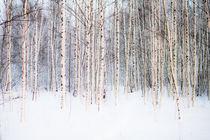 Winter Birches von Riku Nikkila