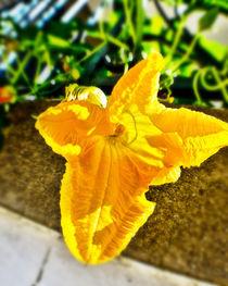 Yellow pumpkin flower by Tony Deal