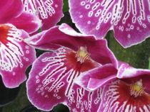 Orchid at Longwood I by Jeffrey Batt