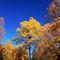 Osen-tree
